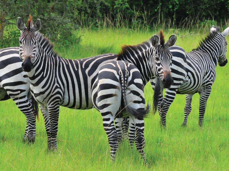 Lake Mburo National Park - Wildlife Safari - Zebras of Lake Mburo