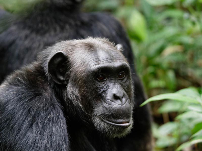Kibale Forest National Park Uganda Chimpanzee Safari, Chimpanzee Habituation Experince, Chimpanzee Tracking tour, chimp trek