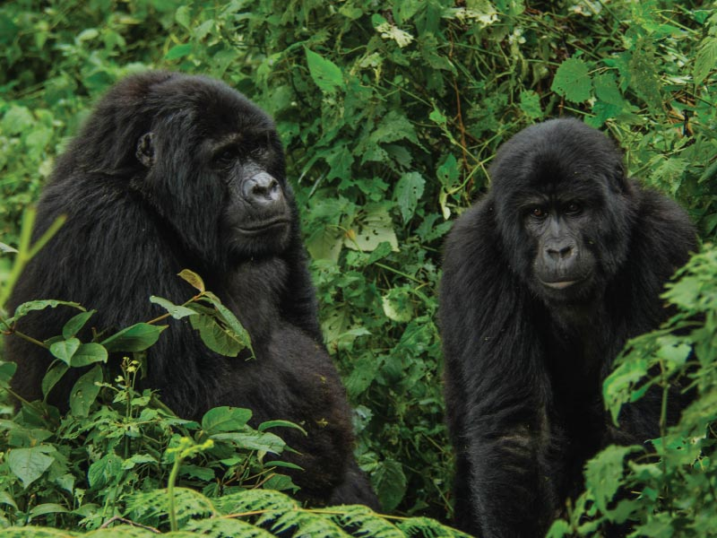 Bwindi Gorilla Tracking Safari Tour