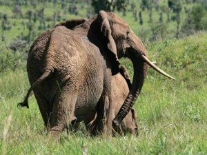Murchison Falls Safari big five tour Uganda, Murchison Falls National Park elephants