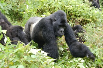 volcanoes gorilla family