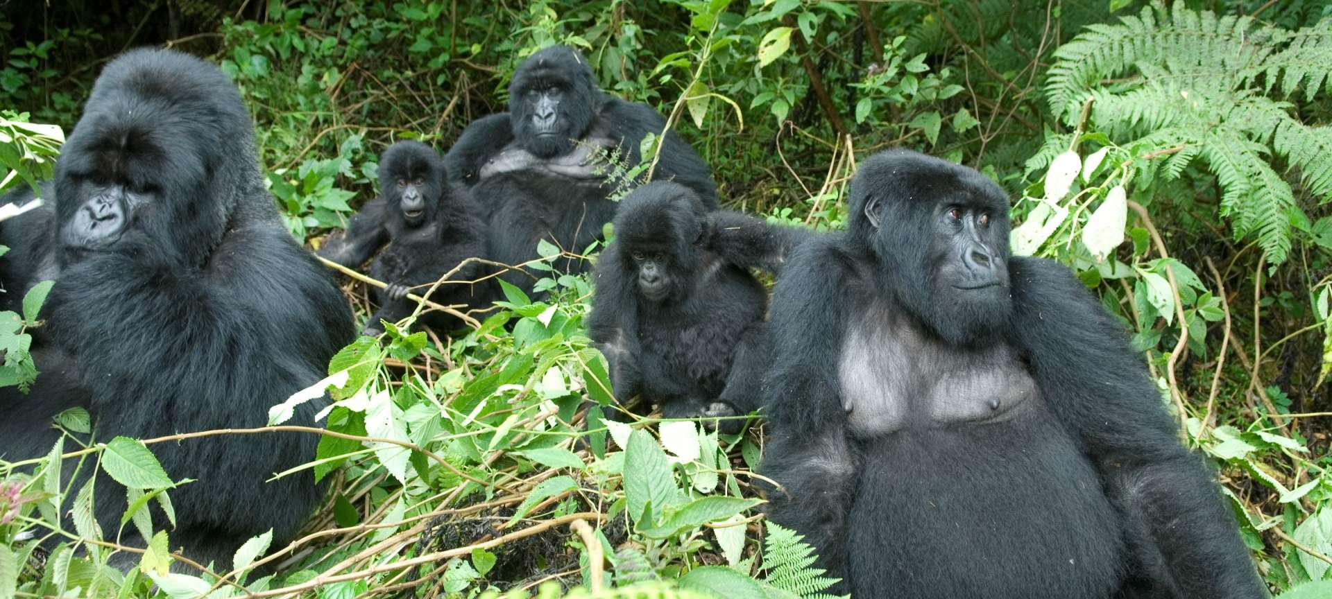 volcanoes national park Rwanda, Parc Nationals Des Volcans, PNV, Gorilla Tracking Safari, Gorilla Trekking,