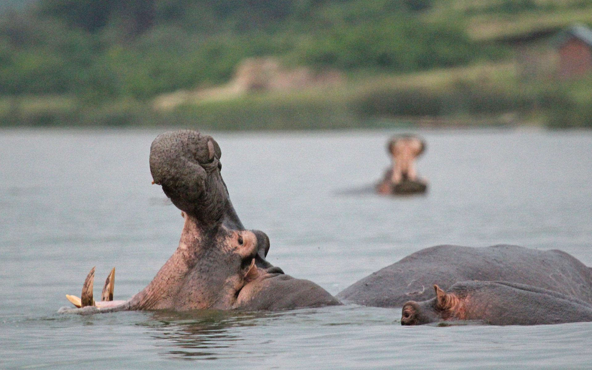 kazinga channel - Queen Elizabeth National Park, Hippo Safari uganda