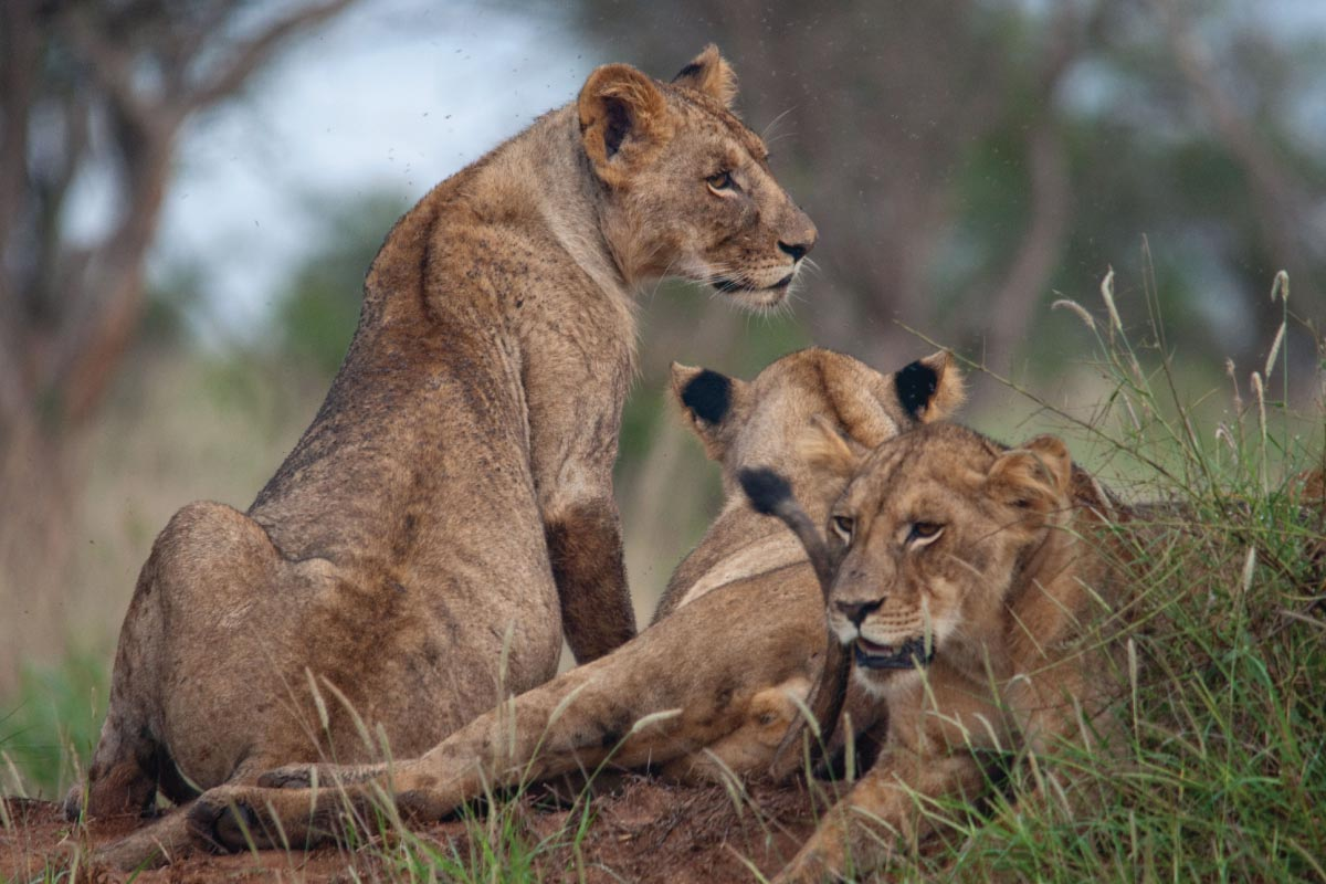Kenya's Big Cats Safari