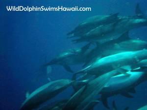 Wild Dolphin Swimming The Big Island Hawaii