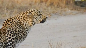 The male leopard Hosana stares intently ahead!