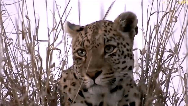 Shadow female leopard