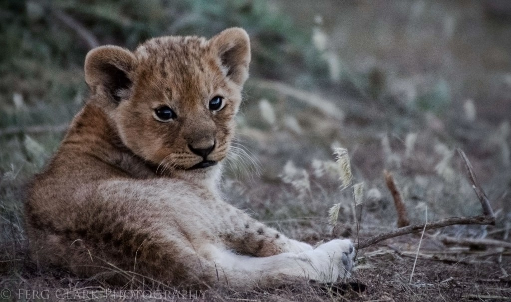 Tiny lion cub glances at the camera over his shoulder.