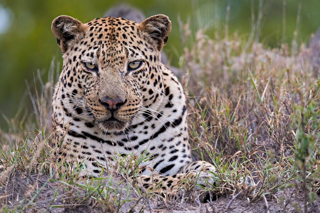 safariLIVE: The Gauntlet – Hukumuri – WildEarth