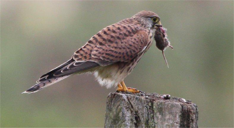 Turmfalken Weibchen