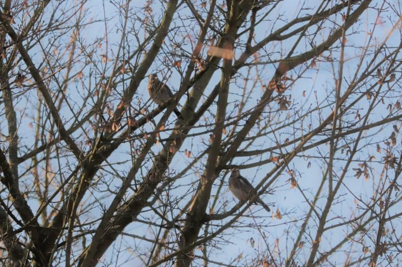 Singvögel aus dem Norden