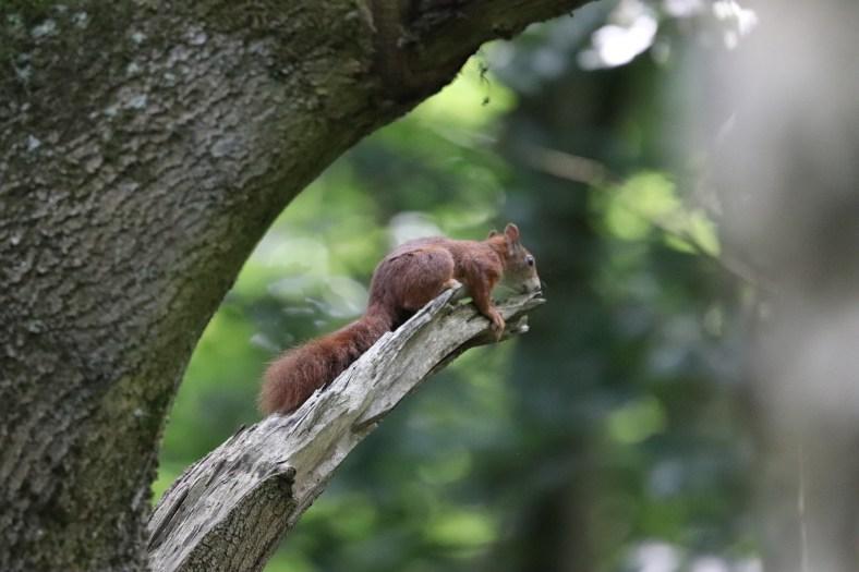 Eichhörnchen - Die Kobolde des Waldes