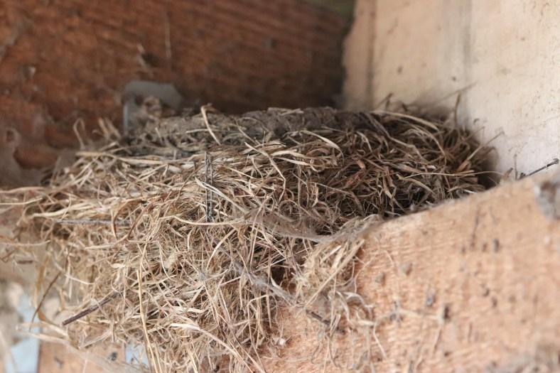 Nest vom Hausrotschwanz