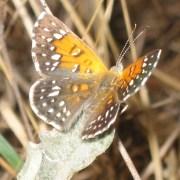 Lange's Metalmark Butterfly (c) Liam O'Brien