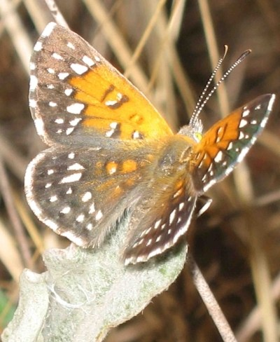 Perhaps a few hundred Lange's Metalmark Butterfly exist in the wild.  Photo (c) Liam O'Brien