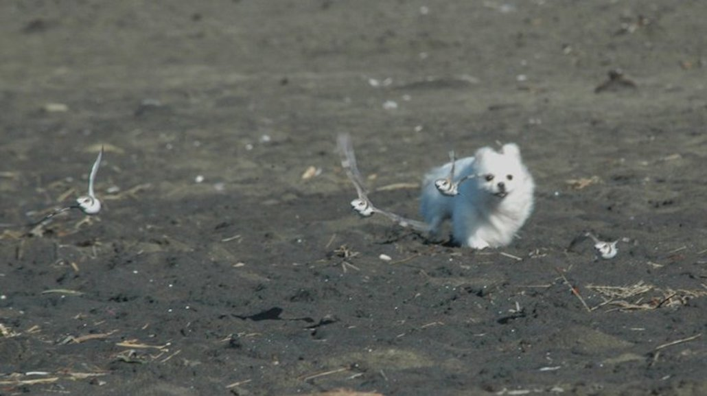 Snowy Plovers Chased at Ocean Beach