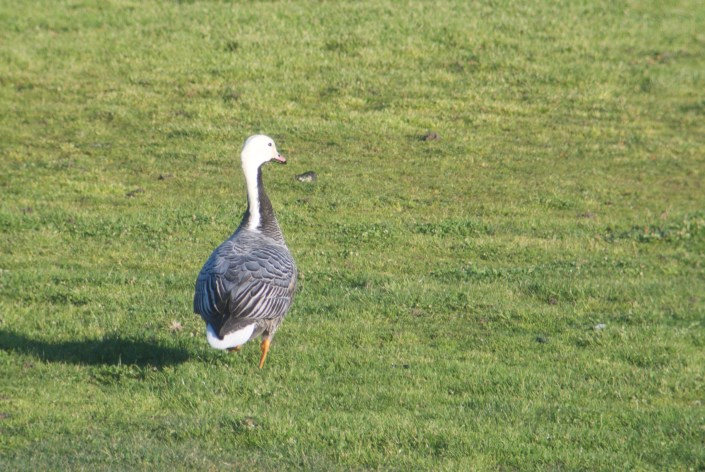 Emperor Goose, Sharp Park, January 26, 2017
