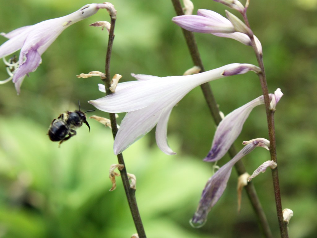Wildbiene und Funkienblüte