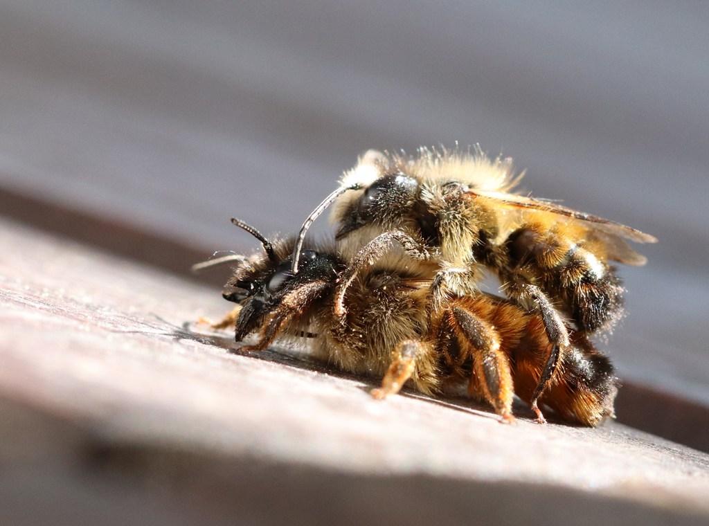 Paarung Rostrote Mauerbienen