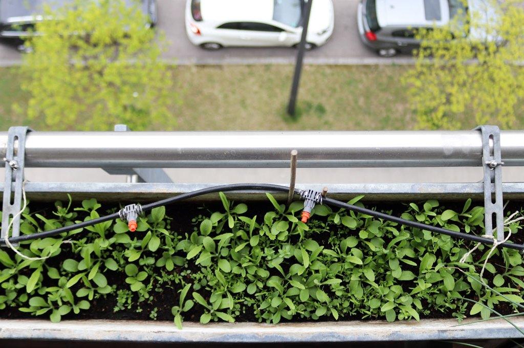 Ansaaten von einjährigen Wildblumen direkt in die Balkonkästen auf dem Wilden Meter. Pflanzen nach drei Wochen.