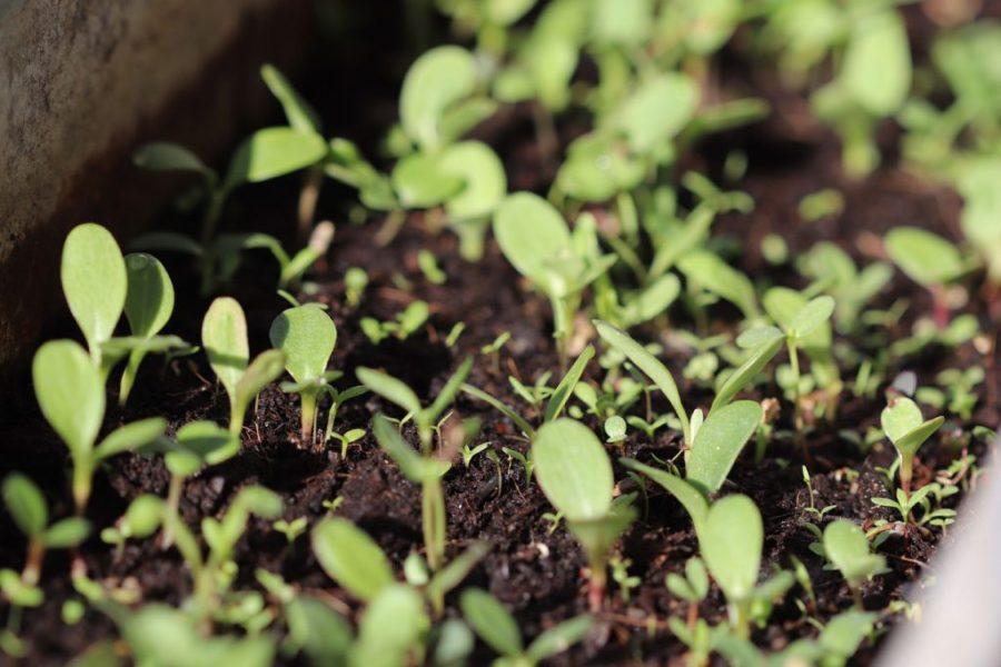 Wildblumen-Ansaaten im Blumenkasten nach zwei Wochen