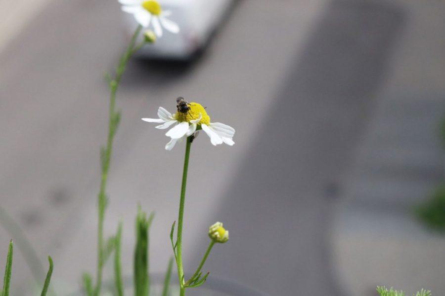 Kamille und Wildbiene