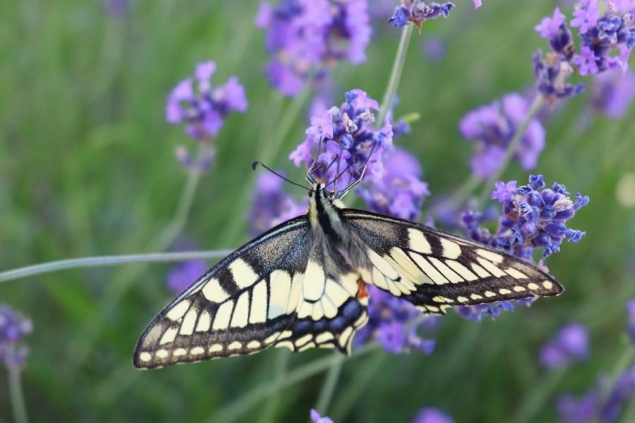 Schwalbenschwanz (Papilio machaon) am Lavendel in Nordhessen