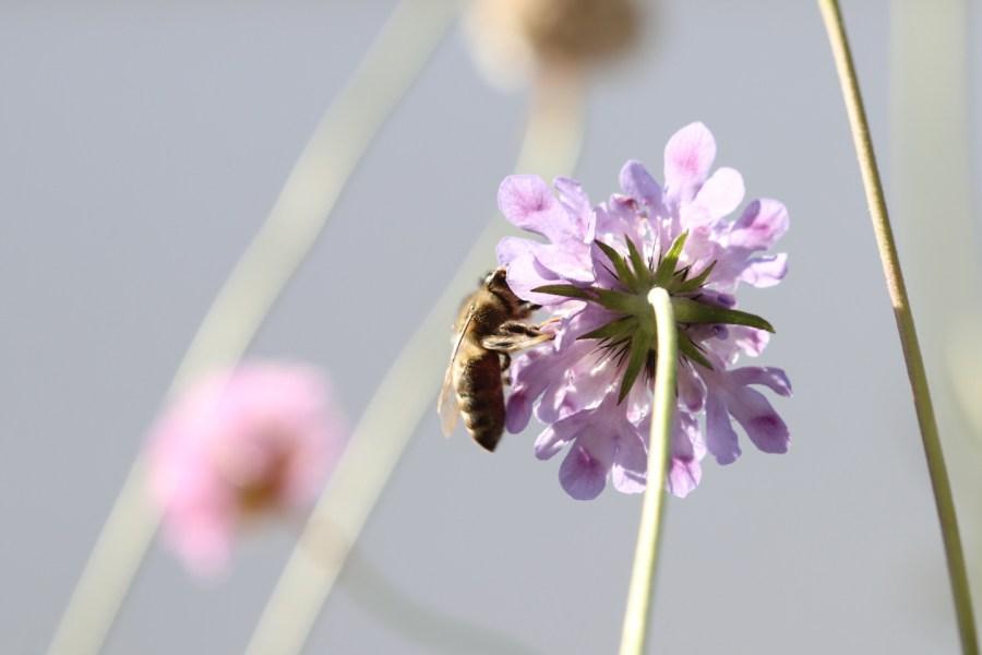 Honigbiene an Taubenskabiose