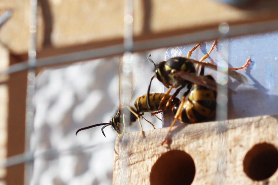 Paarung der Deutschen Wespe auf dem Wilden Meter
