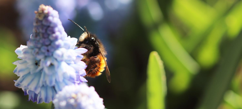 Männchen der Gehörnten Mauerbiene auf einer Himmelblauen Traubenhyazinthe auf dem Wilden Meter