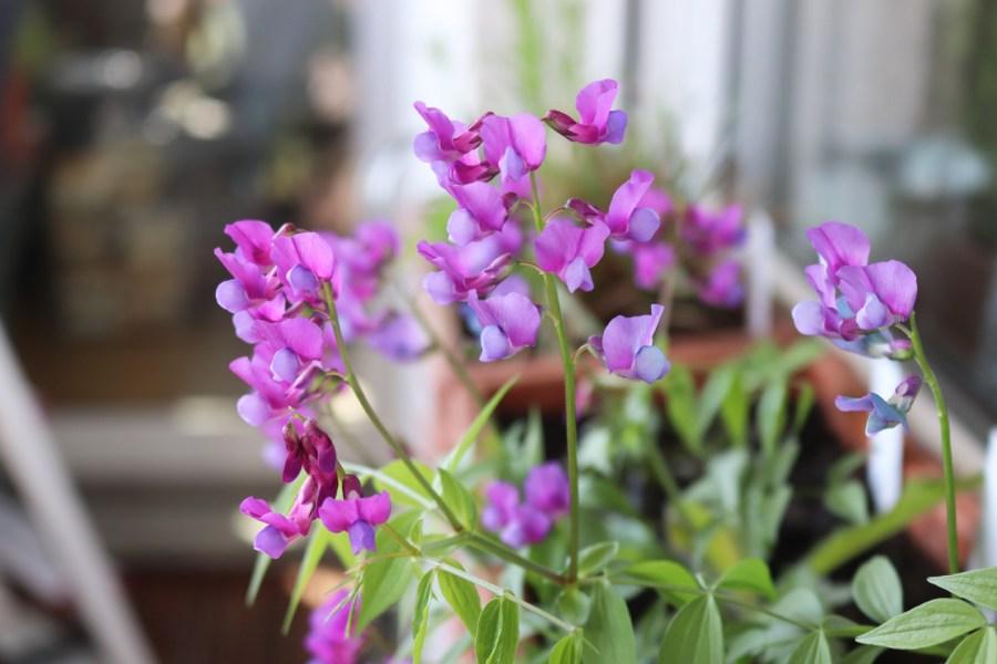 Blühende Frühlingsplatterbse (Lathyrus vernus)