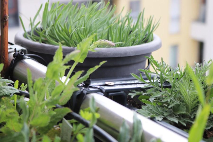 Alles sprießt: Berg-Lauch (Allium senescens)