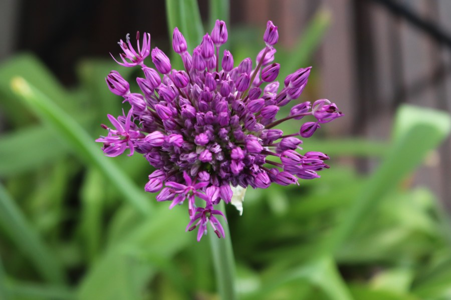 Purpur-Kugellauch, Sorte: Purple Sensation (Allium aflatuense 'Purple Sensation')