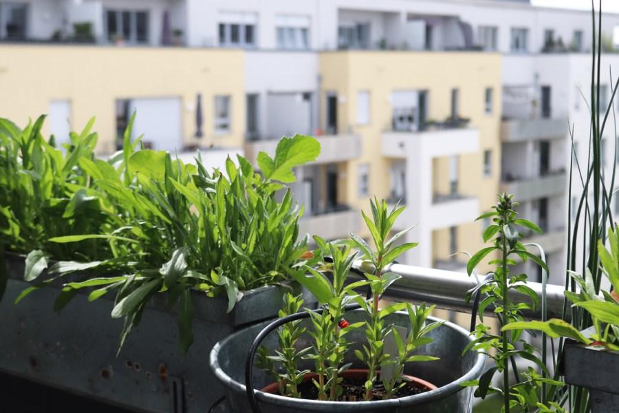 Aussaaten einjähriger Sommerblumen am 7. Mai; Blutweiderich (Lythrum salicaria) und Wildes Löwenmaul