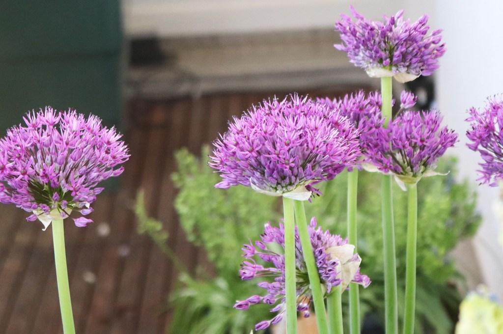 Allium aflatuense