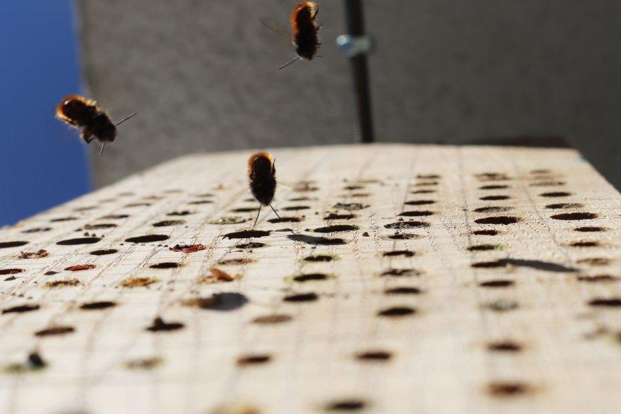 Männchen der Gehörnten Mauerbienen warten auf die Weibchen