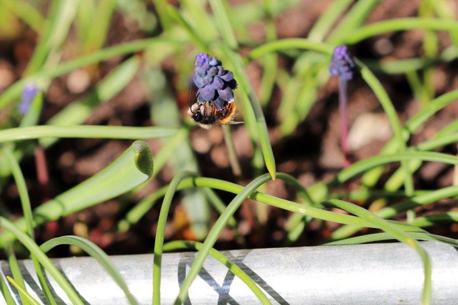 Männchen der Gehörnten Mauerbiene an der Blüte einer Traubenhyazinthe