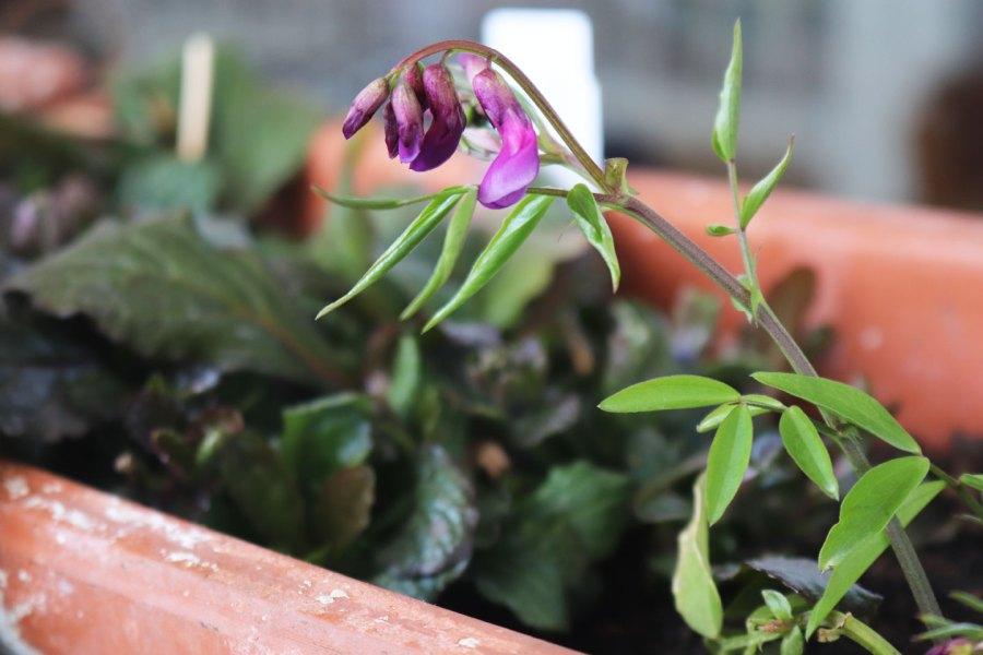 Frühlings-Platterbse (Lathrus vernus)