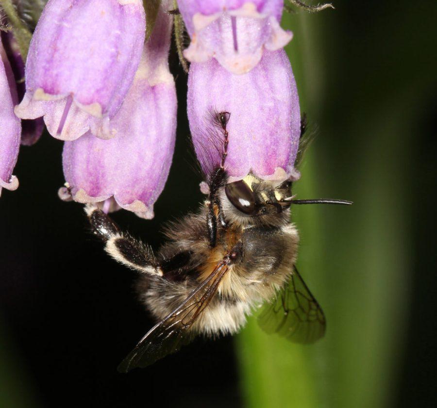 Die Pelzbiene Anthophora plumipes, hier ein Männchen, ist ein häufiger Besiedler von Gärten. (Foto: Christian Schmid-Egger)