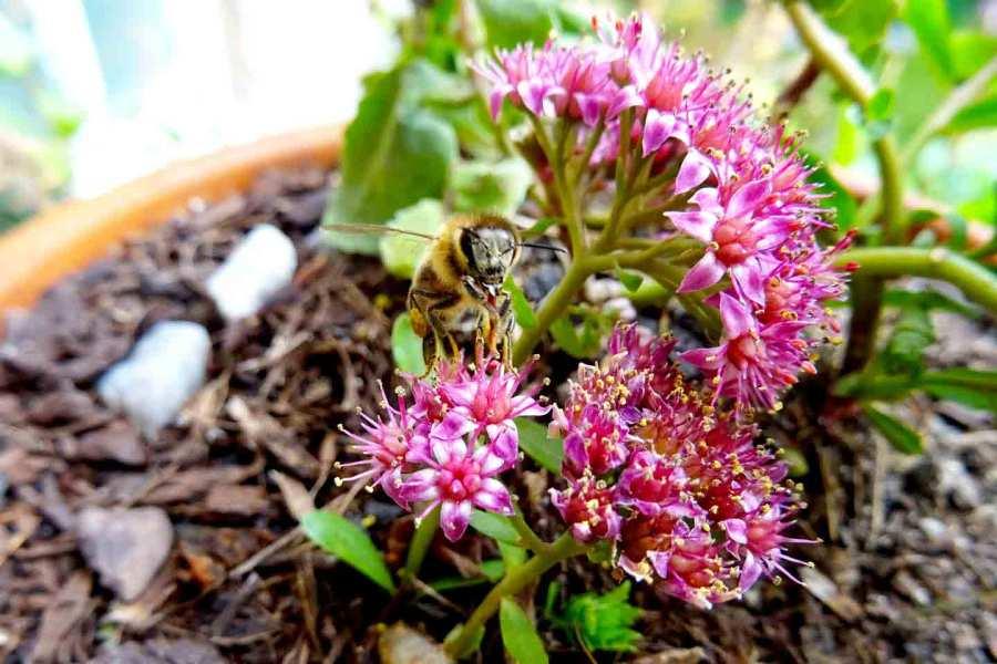 Honigbiene auf Sedum telephium im Oktober 2020