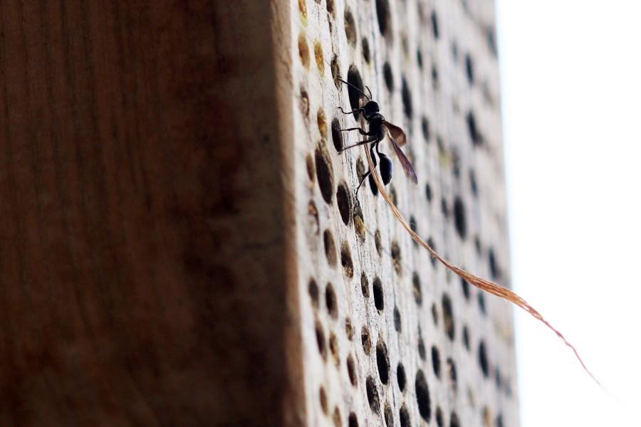 Die Stahlblaue Grillenjägerin (Isodontia mexicana) trägt einen Grashalm ins Nest.