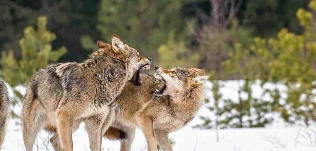 Howling for protection of the wolf
