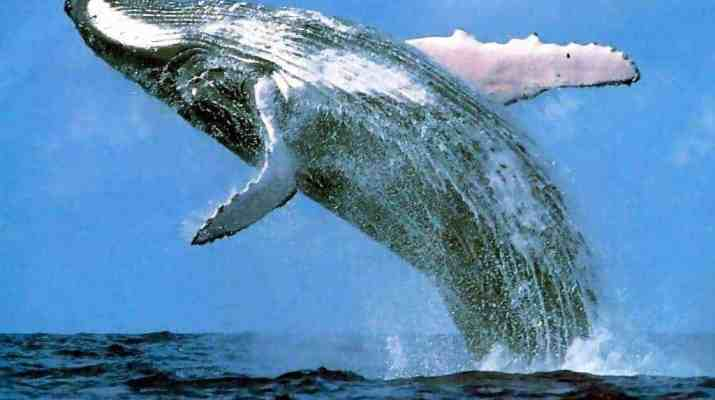 Victory for whales - whalehunting not scientific research