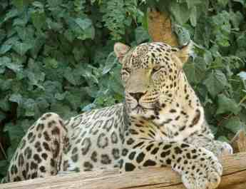 Threatened leopard killed in southeastern Turkey