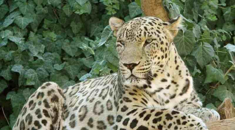 Threatened leopard killed in southeastern Turkey