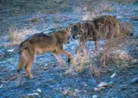 How wolves change flow of rivers