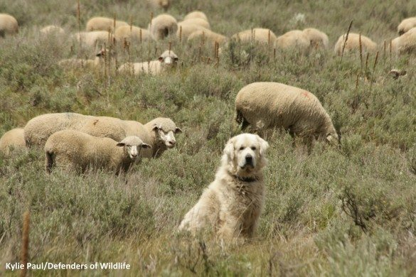 Killing more predators does not save livestock