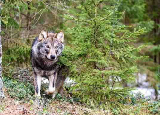 The Wolf in the alpine cultural landscape – Conference and Exhibition