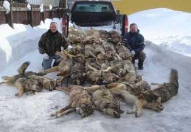 Canada: Alberta kills over 900 wolves...