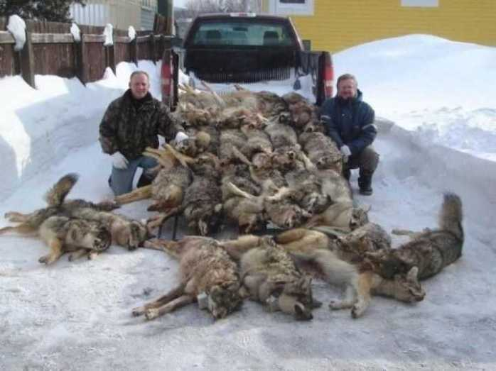 Canada: Alberta kills over 900 wolves...